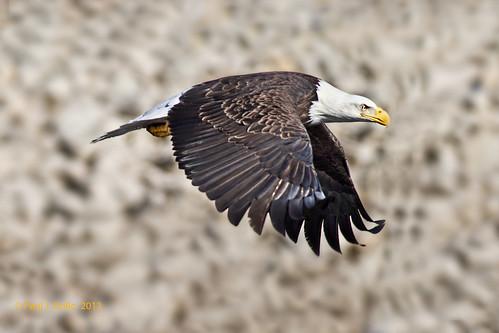 eagle glide jackalope22