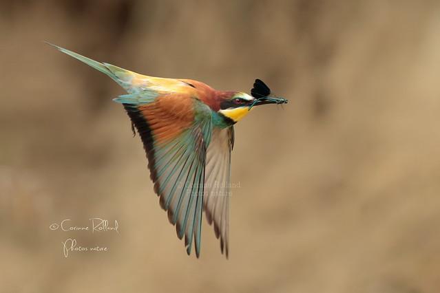 Guêpier d'Europe ( Merops apiaster ) - European Bee-eater #1278