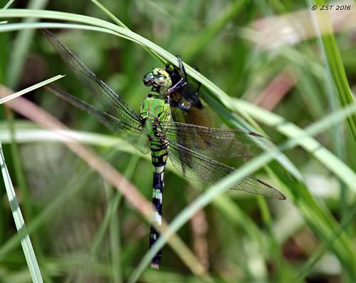 containmentpond dragonfly easternpondhawk eating erythemissimplicicollis female insect nature naturewalk pond ponhawk predator summer texas thewoodlands withprey zeesstof