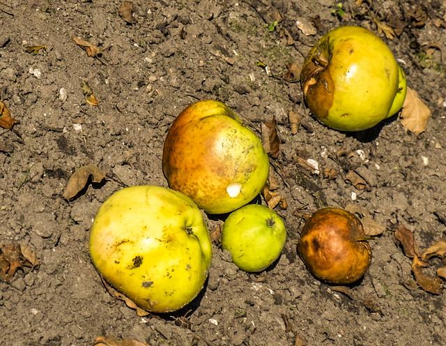Frilandsmuseet-old apples in an old farmergarden
