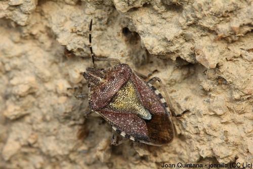 Codophila varia | by Joan Quintana (joanillo)