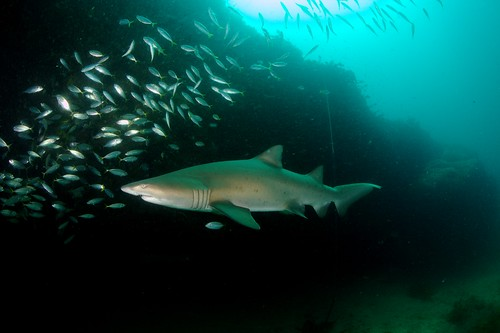 Gray Nurse Shark   by PacificKlaus