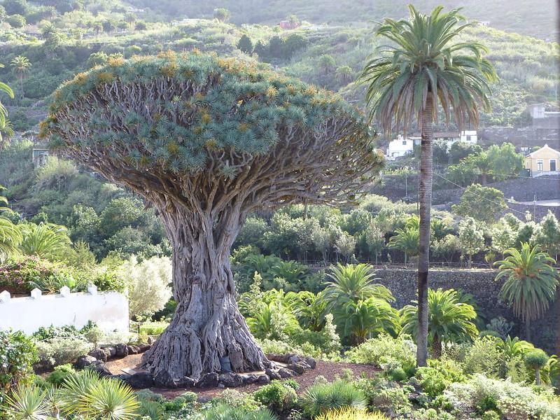 El Drago Icod de los Vinos Tenerife