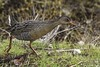 California Clapper Rail by Bob Gunderson