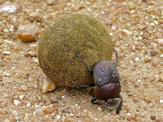 Large Copper Dung-Beetle (Kheper nigroaeneus) | by berniedup