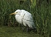 Yellow-billed Egret (Mesophoyx intermedia) by Suri JV (on and off)