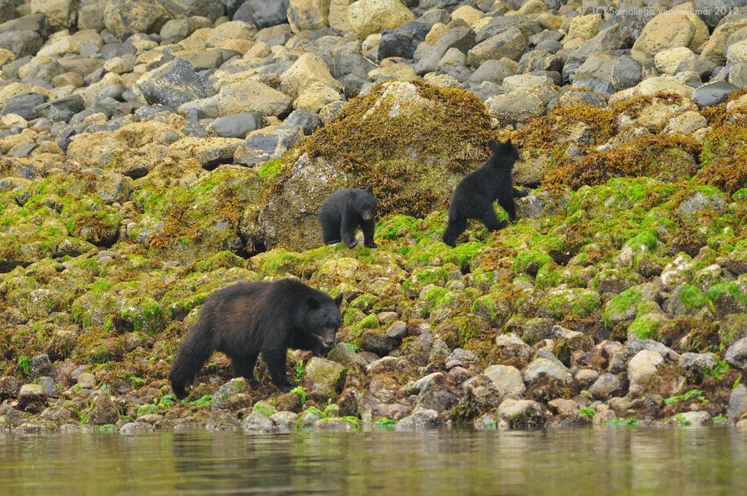 photo of vancouver island black bear