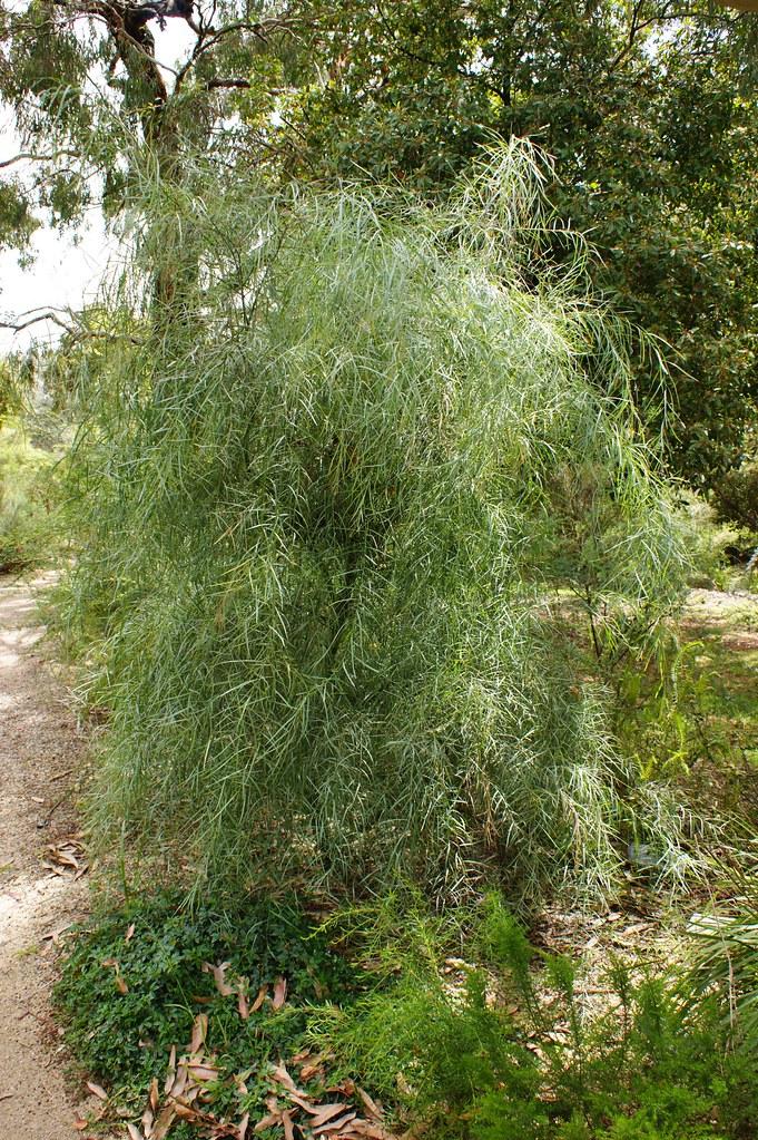 Acacia Iteaphylla Dwarf Form 2 Karl Gercens Flickr