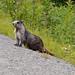 Flickr photo 'Hoary Marmot, Marmota caligata (Eschscholtz, 1829)' by: Misenus1.