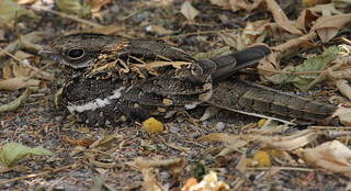Slender-tailed Nightjar | by Wild Chroma