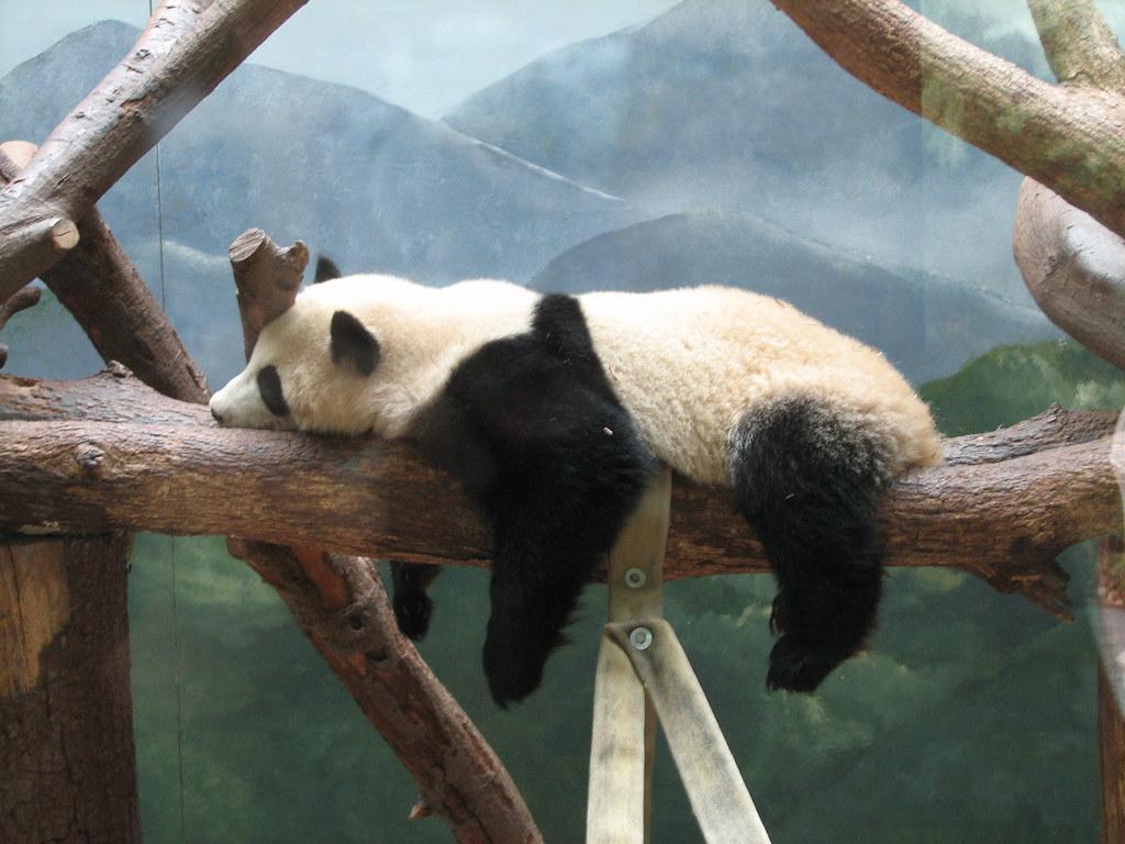 Tired panda 03