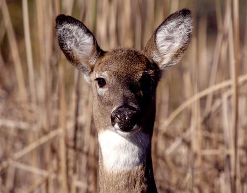 Photo of deer in a field