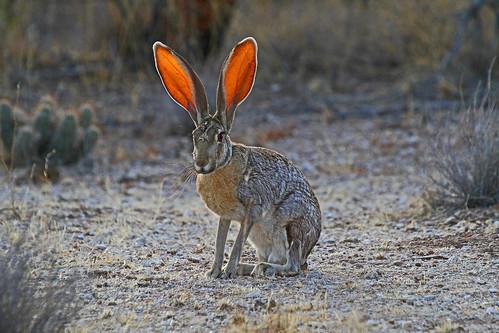 antelopejackrabbit fantasticwildlife dailynaturetnc11 photoofthedaynwf12