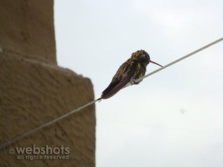 WET HUMMINGBIRD HAVING SHELTER