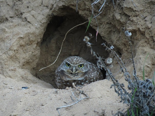 Bluffside Burrowing Owl, Hastings Canyon