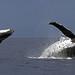 Breaching Humpback Whale Panorama by Patrik Nilsson
