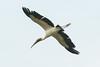 _W4A3789a Wood Stork (Mycteria americana) by ajmatthehiddenhouse