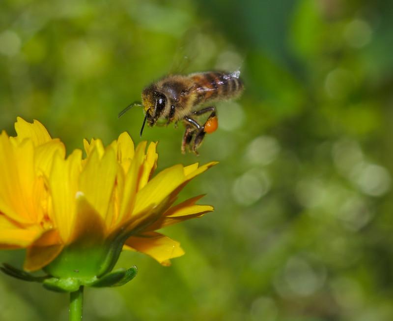 Bee landing on yellow flower