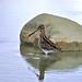 Oiseaux - Charadriiformes