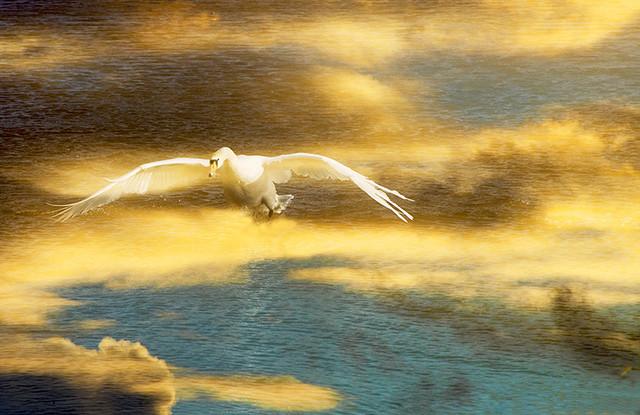 Mad Sunset Swan