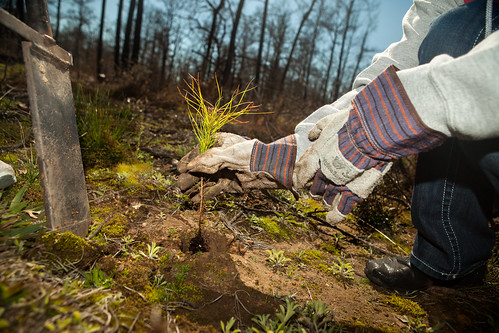 Closeup of sapling being planted