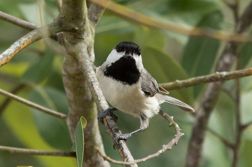 Carolina Chickadee | by Laura Erickson