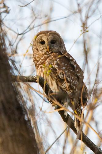bird texas houston owl barredowl bearcreekpark harriscounty