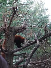日, 2013-01-20 15:06 - レッサーパンダ
