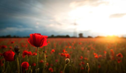 uk flowers light sunset england field nikon poppy poppies hertfordshire poppyfield tamron1750mm