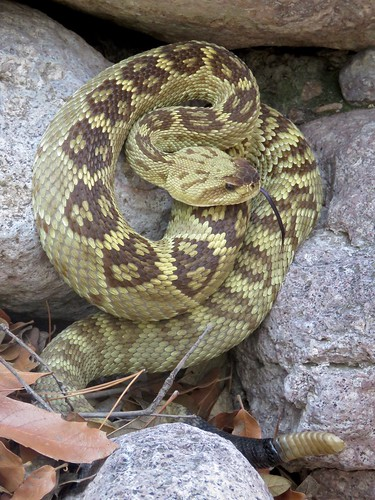Northern Black-tailed Rattlesnake (Crotalus molossus molossus) | by Justin Lee (NoNameKey)