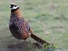 Reeves's Pheasant, Great Cressingham (Norfolk), 9-Feb-13 by Dave Appleton