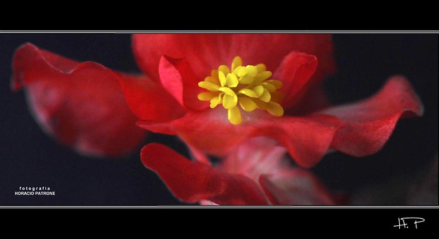 DANZA de PETALOS . (dance of petals ) FLOR DE AZUCAR (Begonia semperflorens )