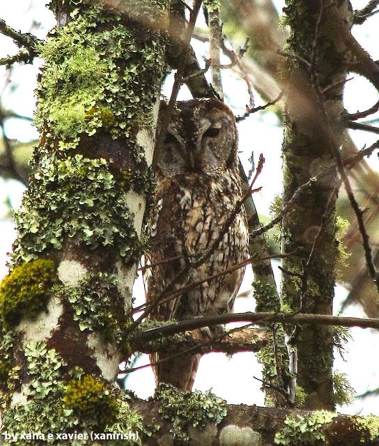 Coruja-do-mato, Tawny Owl (Strix aluco) - em Liberdade [WilLife]