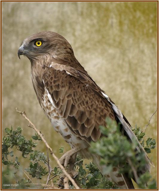 Circaète Jean-le-Blanc / Circaetus gallicus / Short-toed Snake Eagle