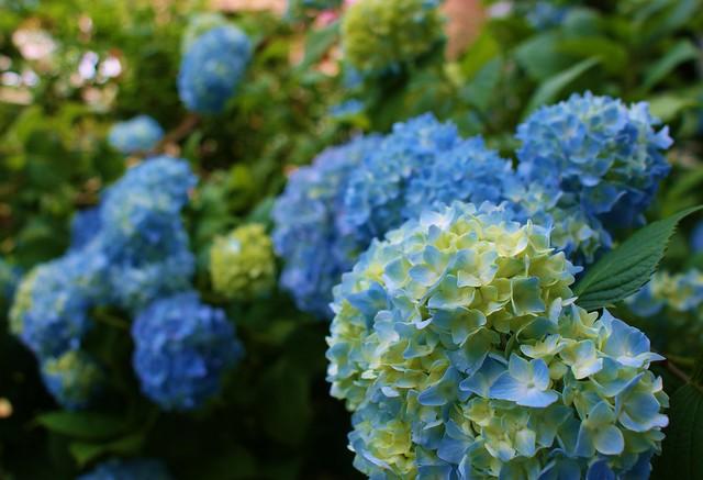 Hydrangea macrophylla 'Blue'
