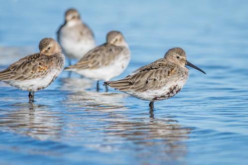shorebird wetlandsinstitute stoneharborwetlandsinstitute nature water birds wildlife stoneharborpoint dunlin northwildwood newjersey unitedstates us nikon d7200 atlanticocean