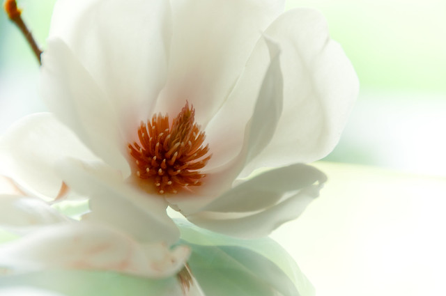 660 ~ Magnolia means sweetness and love...