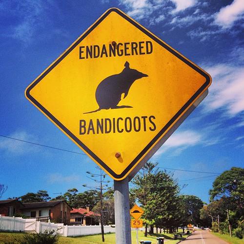 bandicoots