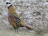 Reeves's Pheasant, S of Hilborough (Norfolk), 23-Feb-13 by Dave Appleton