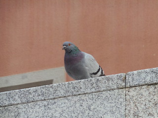 Pigeon in Barcelona | by Rayya The Vet
