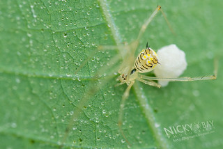 Comb-Footed Spider (cf. Meotipa sp.) - DSC_7921