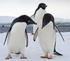 Adelie Penguins - Pygoscelis adeliae DSC_0536 by Mary Bomford
