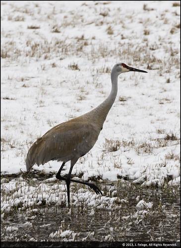 snow cold bird river mississippi spring nikon crane wildlife windy mississippiriver snowfall coldweather sandhill sandhillcrane sigma50500 wildbird nikond600 lockanddam13 wildcrane mississippiriverlockanddam13