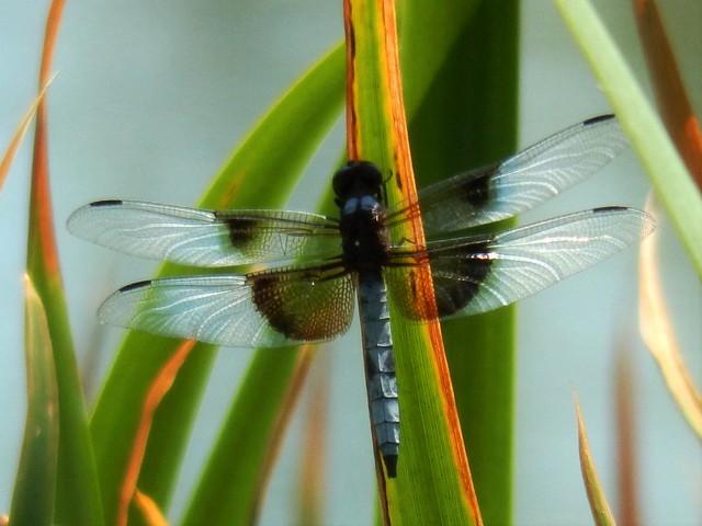 Widow Skimmer Dragonfly, Davis Ca.
