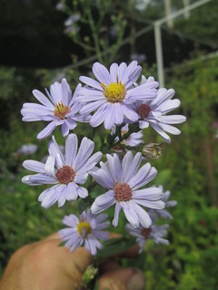 Smooth Blue Aster | by capemaynativeplants