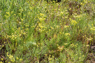 "Lomatium sp. nov. ""Adams County"" 