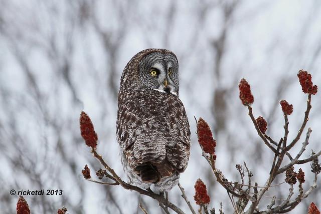 chouette lapone- great gray owl- strix nebulosa  *