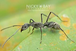Ant (Diacamma sp.) - DSC_6884