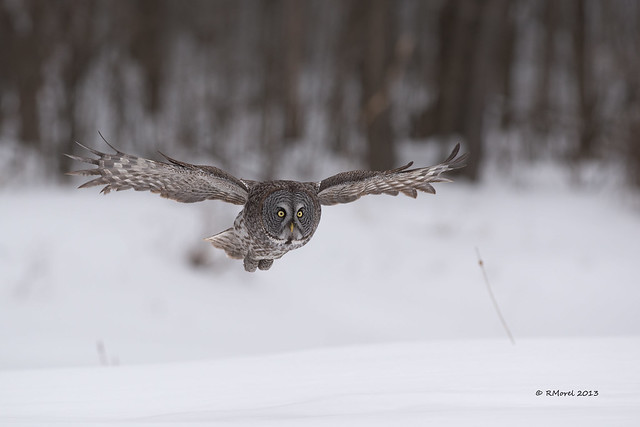 chouette laponne / great gray owl