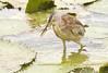 IMG_1861 Ixobrychus sinensis by budak